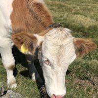 Wenn das Rind den Kopf senkt, laut schnaubt und am Boden scharrt, dann ist es stinksauer auf Euch. Da hilft nur ein geordneter Rückzug.   foto (c) kinderoutdoor.de